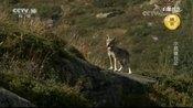 它们的领地由两座山谷组成,有几个赤狐族群,就生活在这里