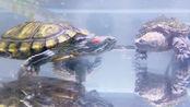 大巴西龟抢夺小鳄龟食物