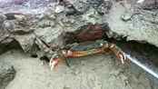 拿着阿峰的钳子去石头底下找螃蟹了 一会就抓一桶