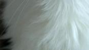霸气侧漏 神话中的挪威森林猫