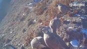 祁连山末端首次拍到4只雪豹,专家:保护区外也有种群存在